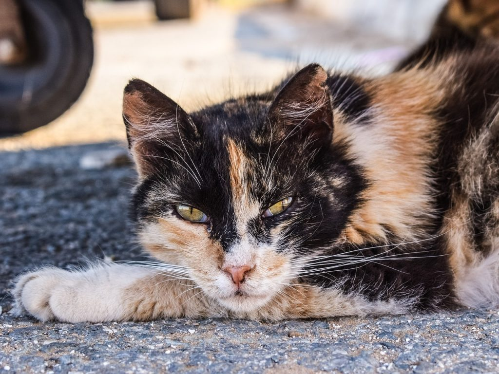 Mangy-looking multi-colored cat laying on concrete, eyes slitted, glaring at the camera