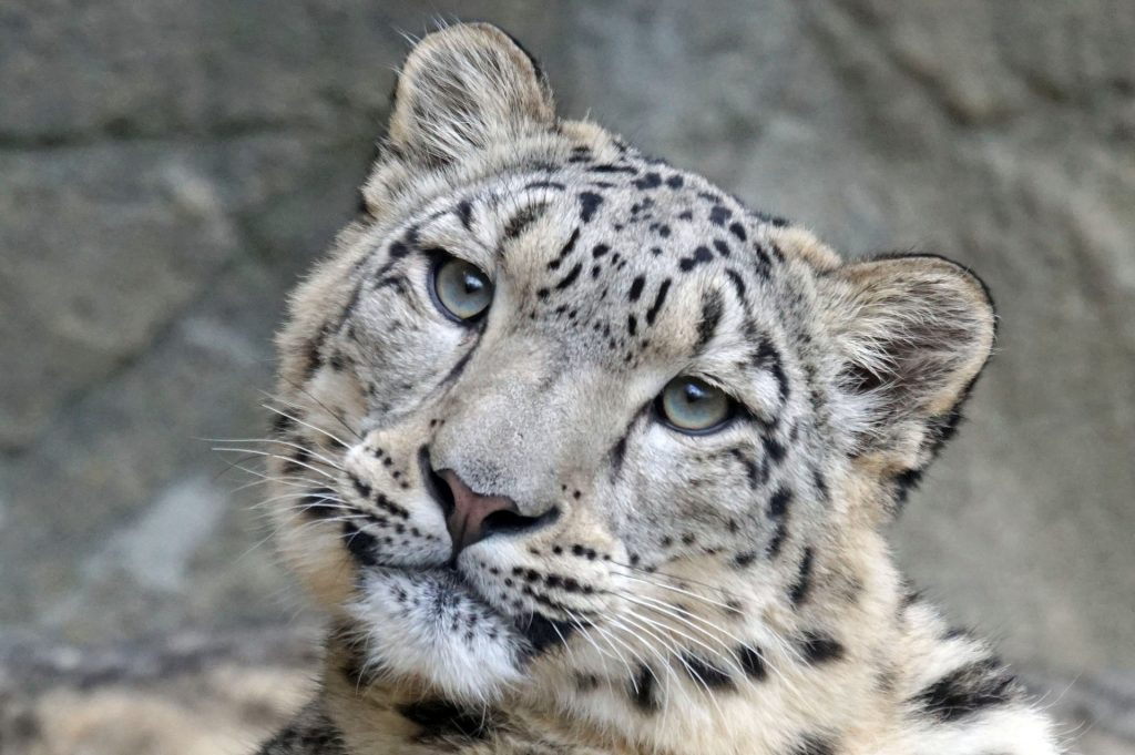 Snow leopard, head tilted to the side, looking bored enough to come home with me